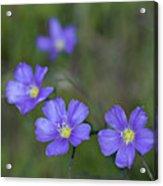 Flax Wildflowers Acrylic Print
