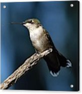 Flick Of The Tongue - Ruby-throated Hummingbird Acrylic Print