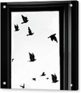 Flock Of Crows Seen Through A Window Acrylic Print