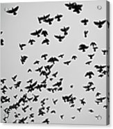 Flock Of Flying Pigeons Acrylic Print