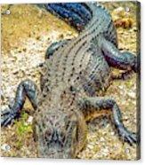 Florida Gator 2 Acrylic Print