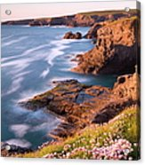 Flowering Sea Thrift Armeria Maritima Acrylic Print