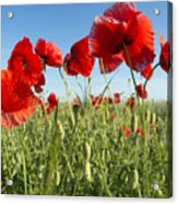 Flowers As A Colorful Background, Macro Acrylic Print
