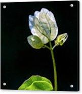 flowers of a Bougainvillea w4 Acrylic Print