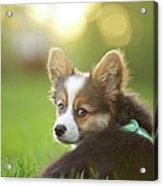 Fluffy Corgi Puppy Looks Back Acrylic Print