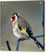 Fluffy Goldfinch Acrylic Print