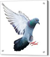 Flying Pigeon Bird In Action Isolated Acrylic Print