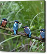 Four Kingfishers On Branch Acrylic Print