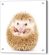 Four-toed Hedgehog Atelerix Acrylic Print