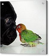 French Bulldog And Lovebird Acrylic Print