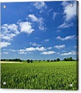 Fresh Air. Blue Skies Over Green Wheat Acrylic Print
