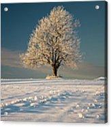 Frosty Oak Tree Acrylic Print