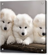 Funny Puppies Of Samoyed Dog Or Bjelkier Acrylic Print