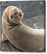 Fur Seal Otariidae Looking Back Upside Acrylic Print
