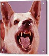 German Shepherd Dog Snarling Acrylic Print