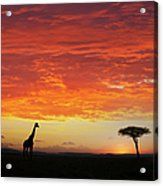 Giraffe And Acacia Tree At Sunset Acrylic Print