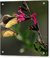 Glowing Wings Of A Hummingbird Acrylic Print