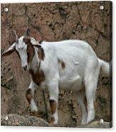 Goat Print 9245 Acrylic Print