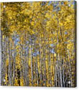Golden Aspen Grove Acrylic Print