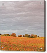 Golden Hour Panorama Of Field Of Indian Paintbrush Wildflowers Independence Washington County Texas Acrylic Print