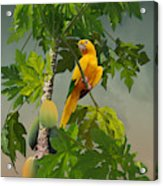 Golden Parakeet In Papaya Tree Acrylic Print