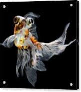 Goldfish Isolated On Black Background Acrylic Print