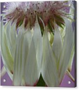 Gone To Seed Acrylic Print