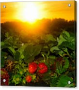 Good Morning Strawberries Acrylic Print