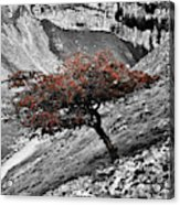 Gordale Scar Tree Acrylic Print