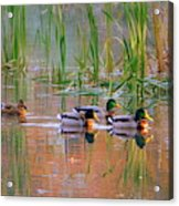 Got My Ducks In A Row Acrylic Print