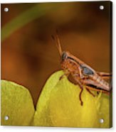 Grasshopper 4600 Acrylic Print