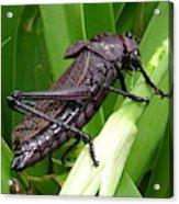 Grasshopper Acrylic Print
