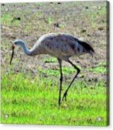 Grazing Sand Hill Crane Acrylic Print