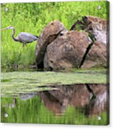 Great Blue Heron And Boulder Acrylic Print