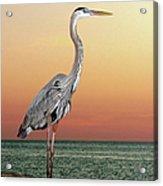 Great Blue Heron In Seaside Sunset Acrylic Print