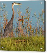 Great Blue Heron Looking For Food Acrylic Print