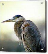Great Blue Heron Portrait Acrylic Print