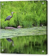 Great Blue Heron Square Acrylic Print