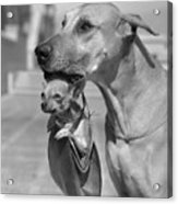 Great Dane Holding Chihuahua In Purse Acrylic Print