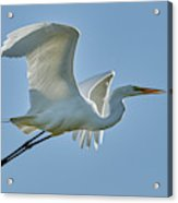 Great Egret, Yolo County California Acrylic Print