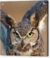 Great-horned Owl Bubo Virginianus Acrylic Print