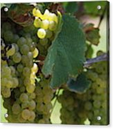 Green Grapes On The Vine 10 Acrylic Print