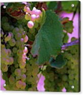 Green Grapes On The Vine 12 Acrylic Print