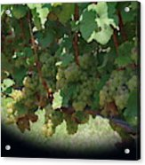 Green Grapes On The Vine 16 Acrylic Print