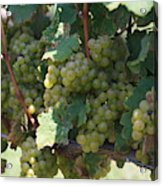 Green Grapes On The Vine 18 Acrylic Print
