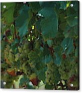 Green Grapes On The Vine 4 Acrylic Print