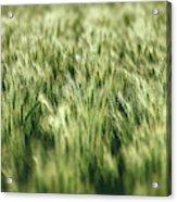 Green Growing Wheat Acrylic Print