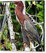 Green Heron In The Glades Acrylic Print