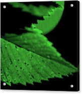 Green Leaf in Sun Acrylic Print