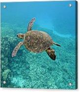 Green Sea Turtle, Big Island, Hawaii Acrylic Print